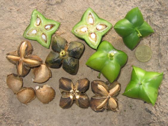 450px-plukenetia_volubilis_sacha_inchi_euphorbiaceae_peru.png